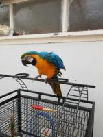 Blue and gold macaw 14 months old