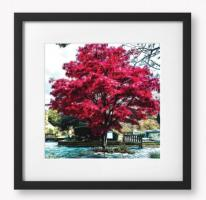 Lewes, Red Tree, Framed Pictures and Prints. Framed in Black. Size 40 x 40 cm