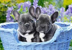 Blue French Bulldog Puppies.