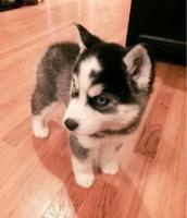 Siberian husky puppy for adoption