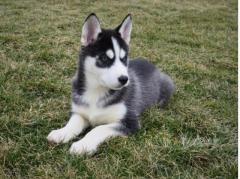 Siberian Husky puppie for sale